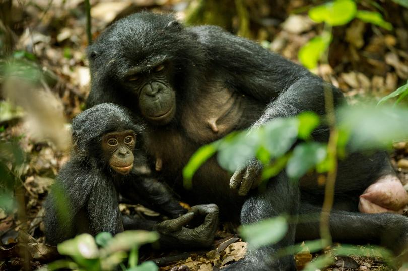 Black hairy ape with baby.