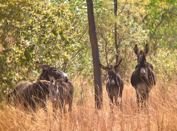 Some of the last feral donkeys of the Kimberley.
