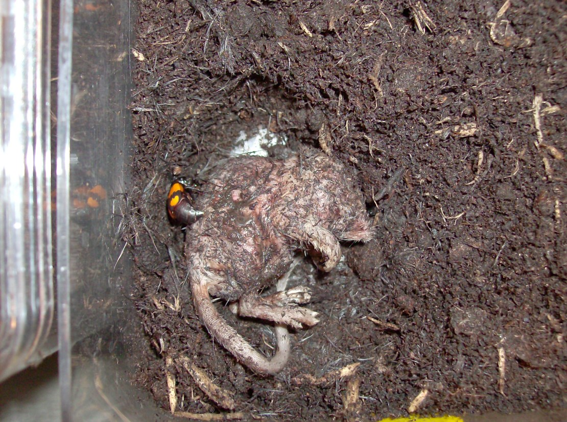 A dead mouse lies partially submerged in soil, with a beetle.