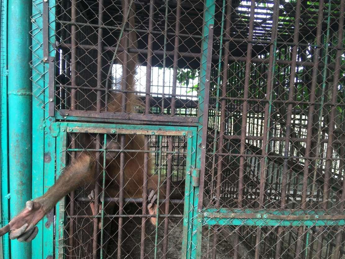 An orangutan pokes its arm through the bars of a large cage.