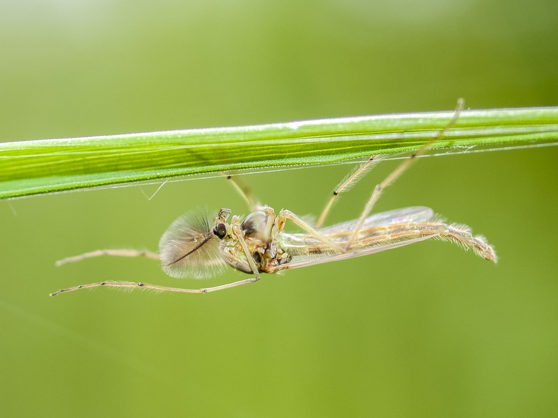 A mosquito sits on a green stem
