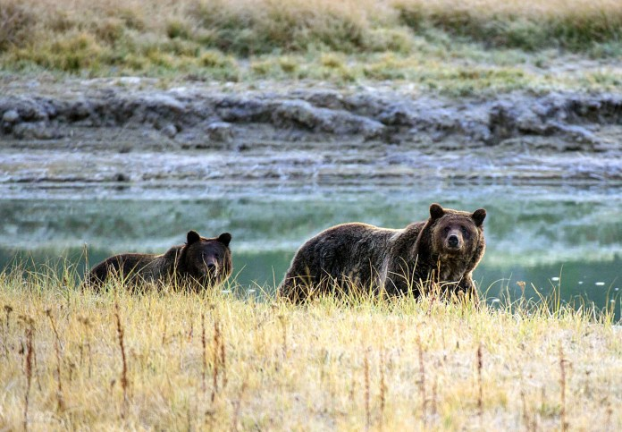 A bear and cub walking along a river in Yellowstone National Park.