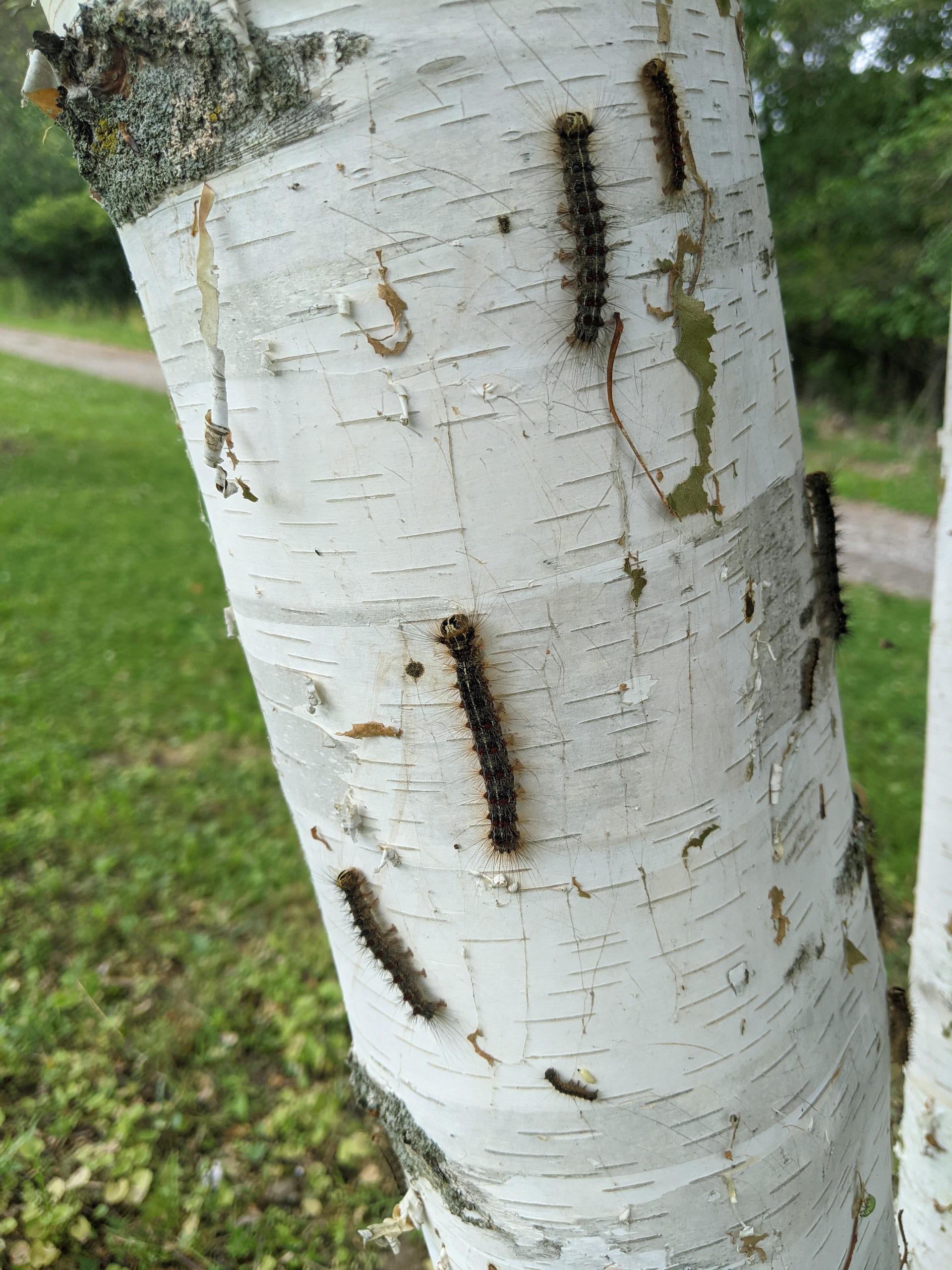 Plusieurs chenilles rampant sur un arbre à écorce blanche