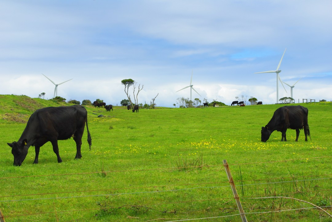 cows and wind turbines in field