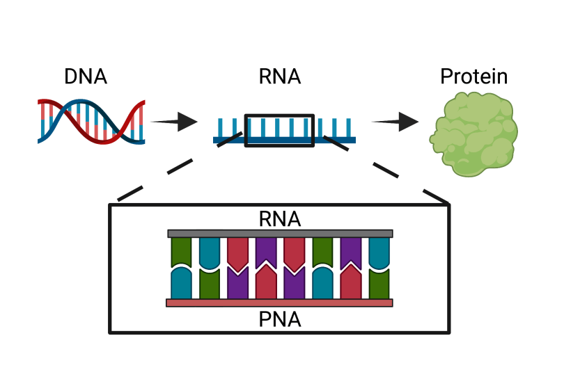 Diagram of PNA interrupting the basic biological process of DNA being converted to protein.
