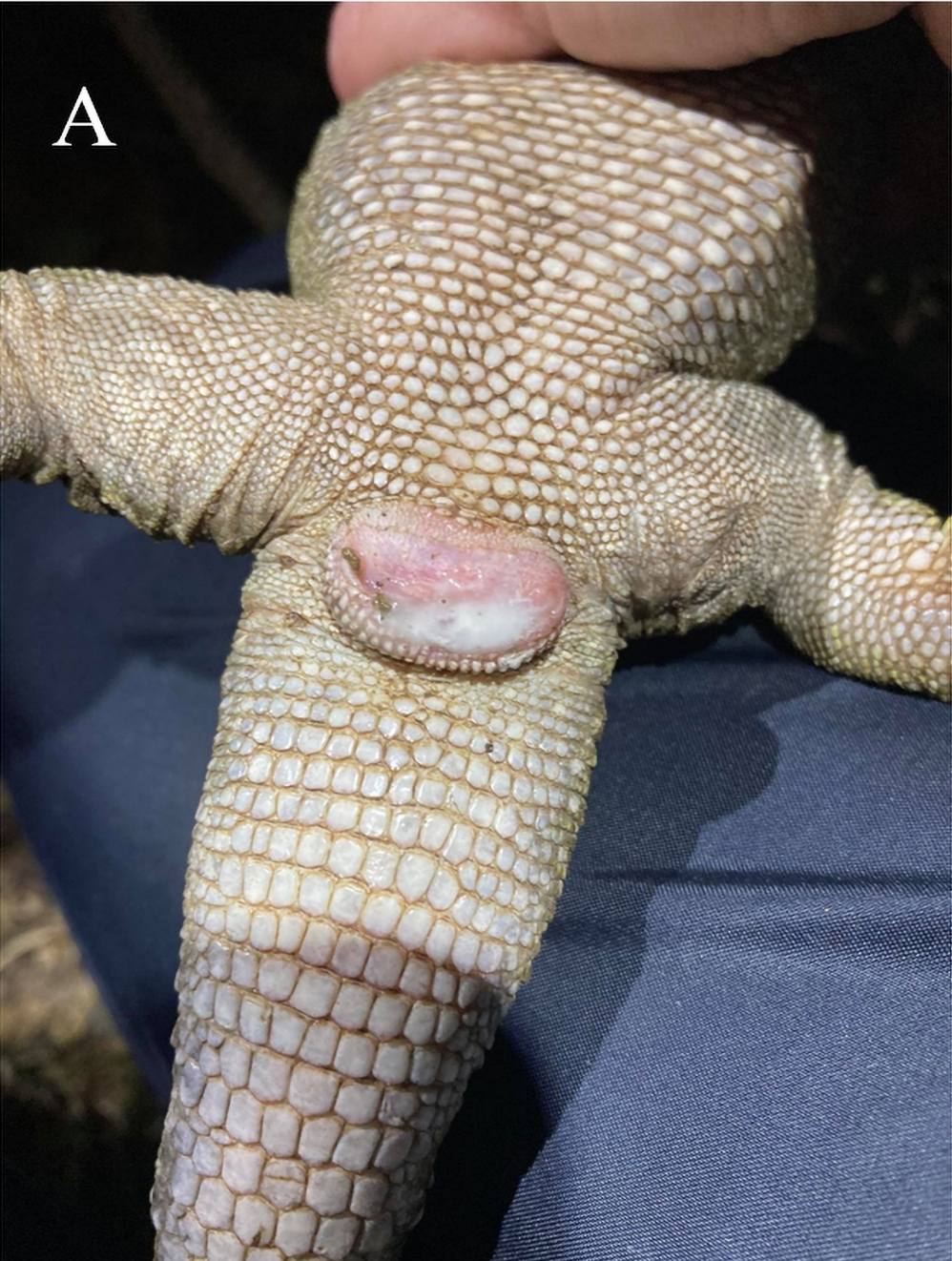 Sperm is visible on the female's cloaca after separating a mating pair.