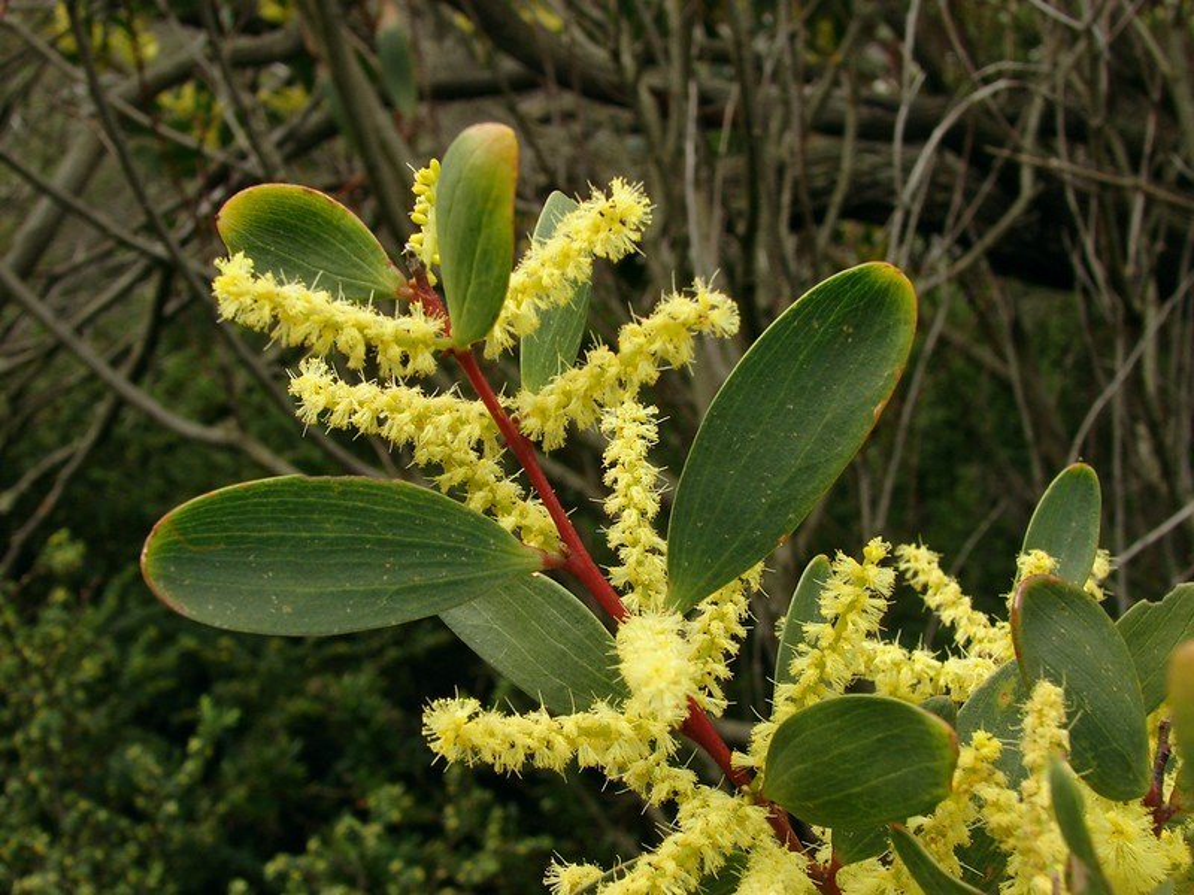 _Acacia longifolia subsp. sophorae_, also known as 'Coastal Wattle', has shorter, stubby leaves.