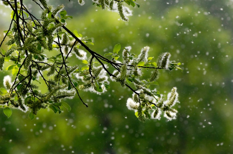 backlit pollen wafts in the air around a flowering tree branch