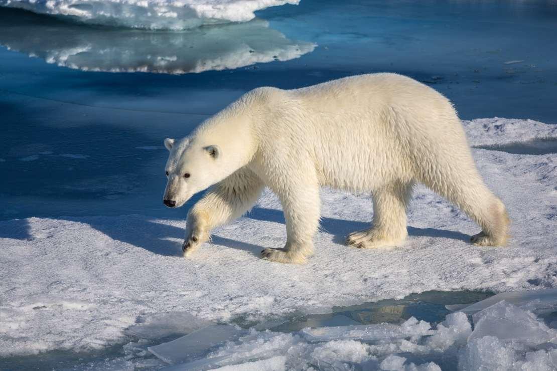 A polar bear walks on sea ice