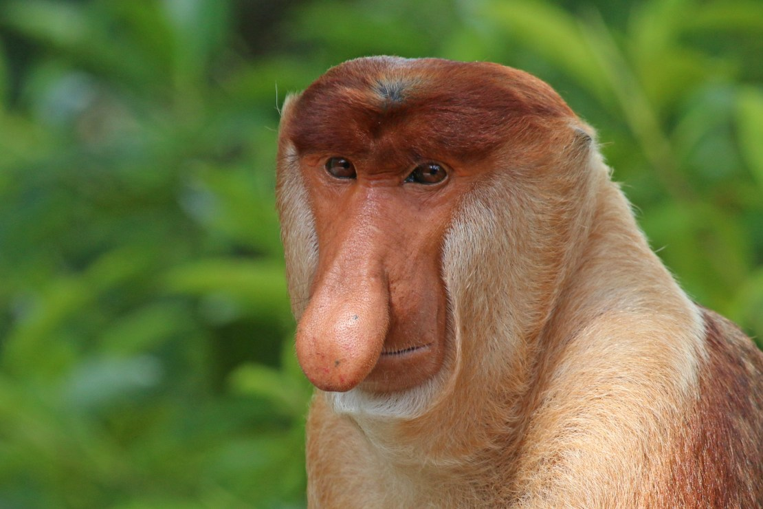 A closeup of a male proboscis monkey, Nasalis larvatus