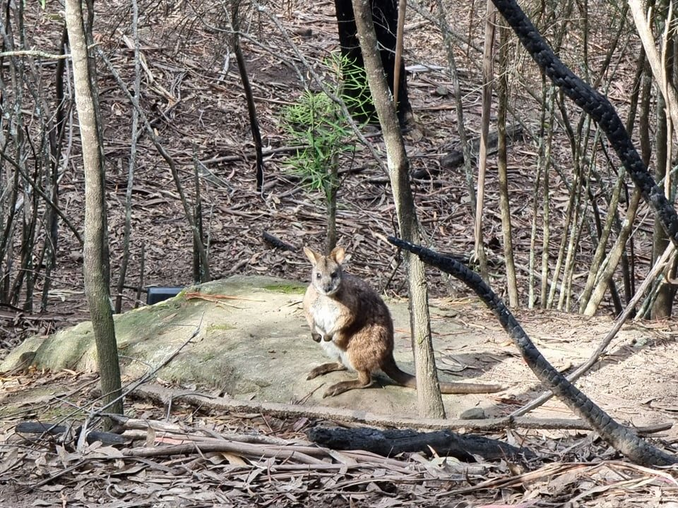 Parma wallaby sitting on a rock