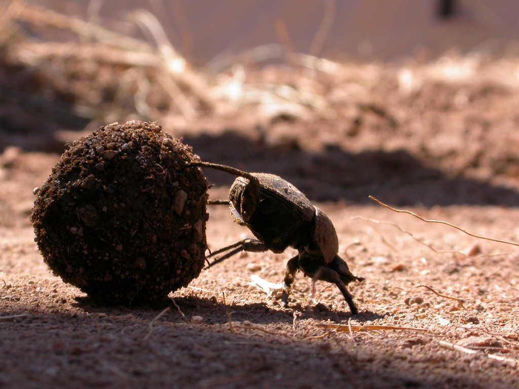 Beetle standing on its front legs, with its back legs on a ball of dung