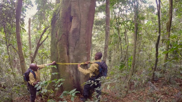 Two people measure a tree trunk with a yellow tape measure