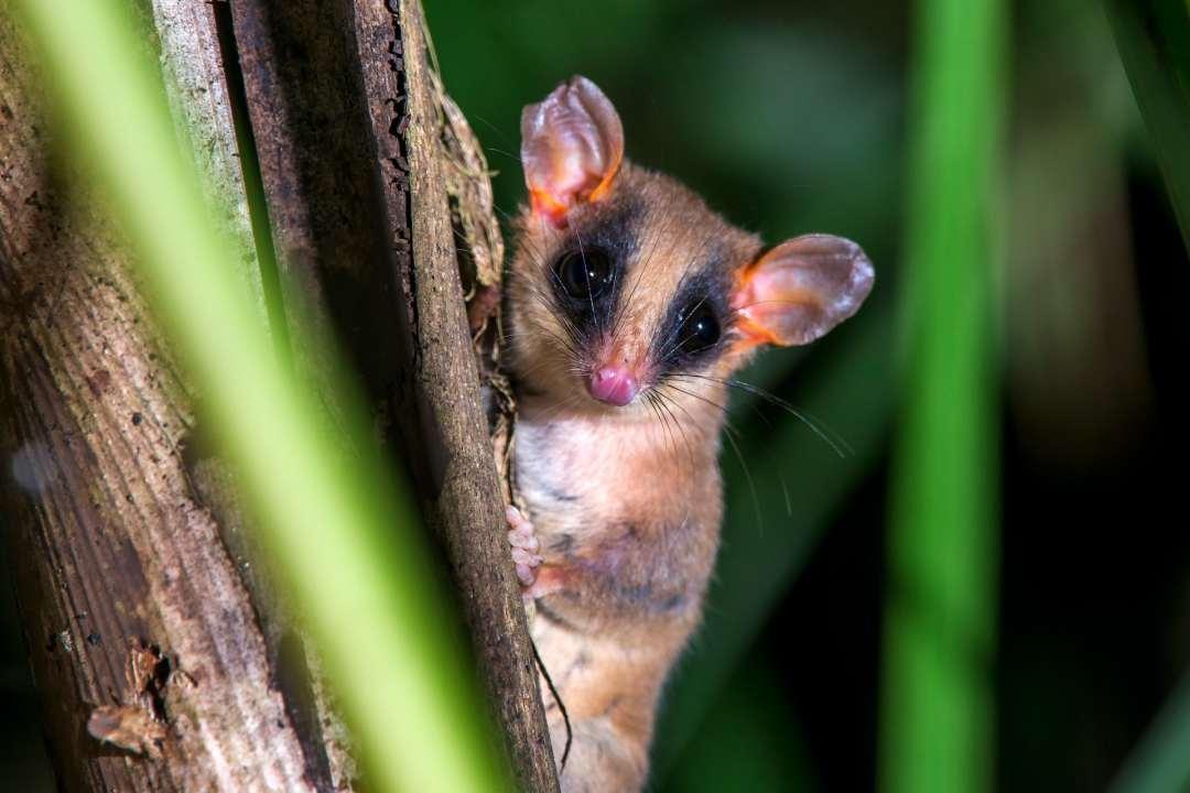 an opossum on a branch