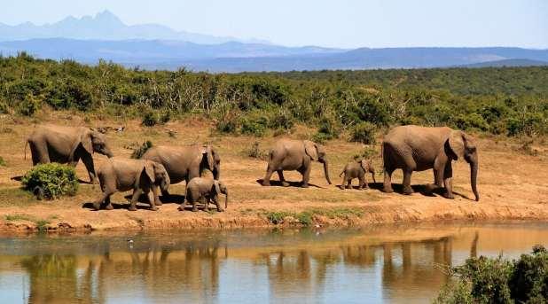 Elephants walk by a lake