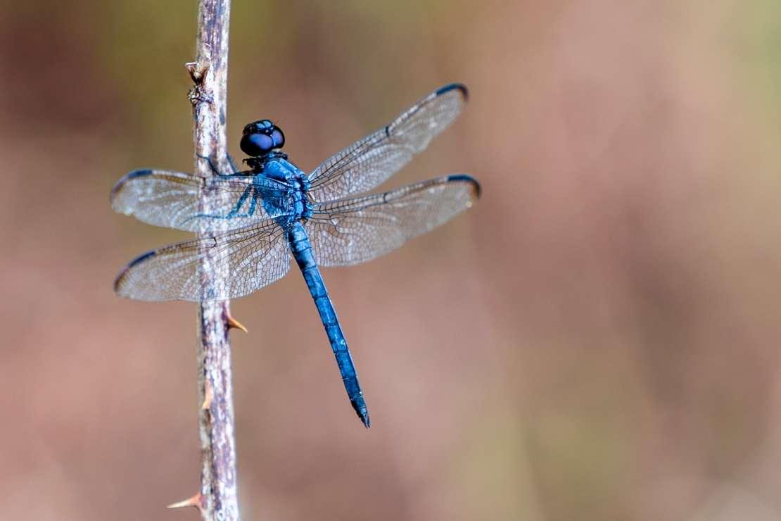 A blue dragonfly.