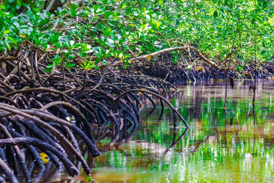 Mangroves in Zanzibar.