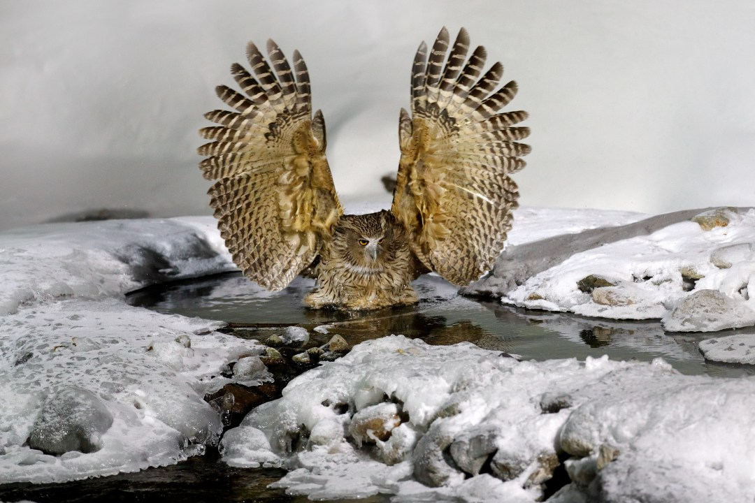 owl in icy water