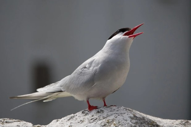 An arctic tern calling
