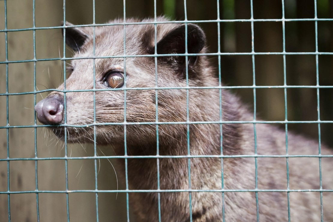 A ferret-like mammal peers through the mesh of a wire cage.