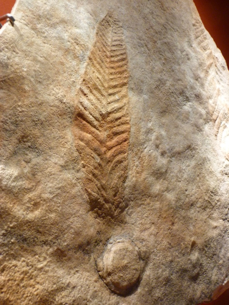 A fossil of a plant that went extinct 550 million years ago.