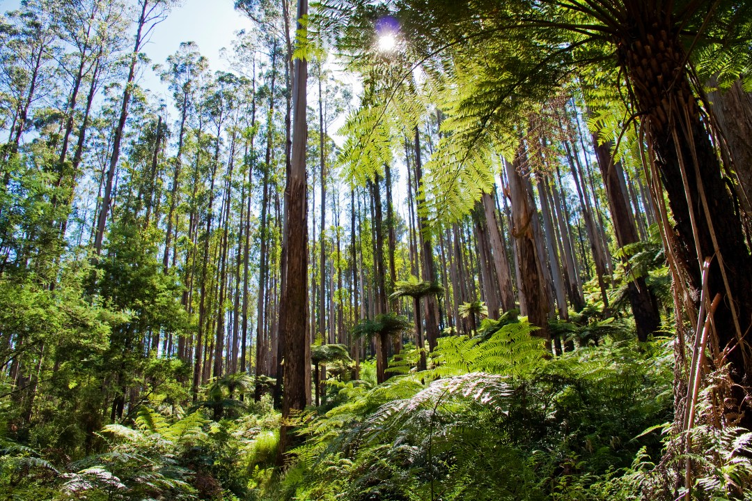 How to know if a country is serious about net zero Tree ferns in an Australian forest.
