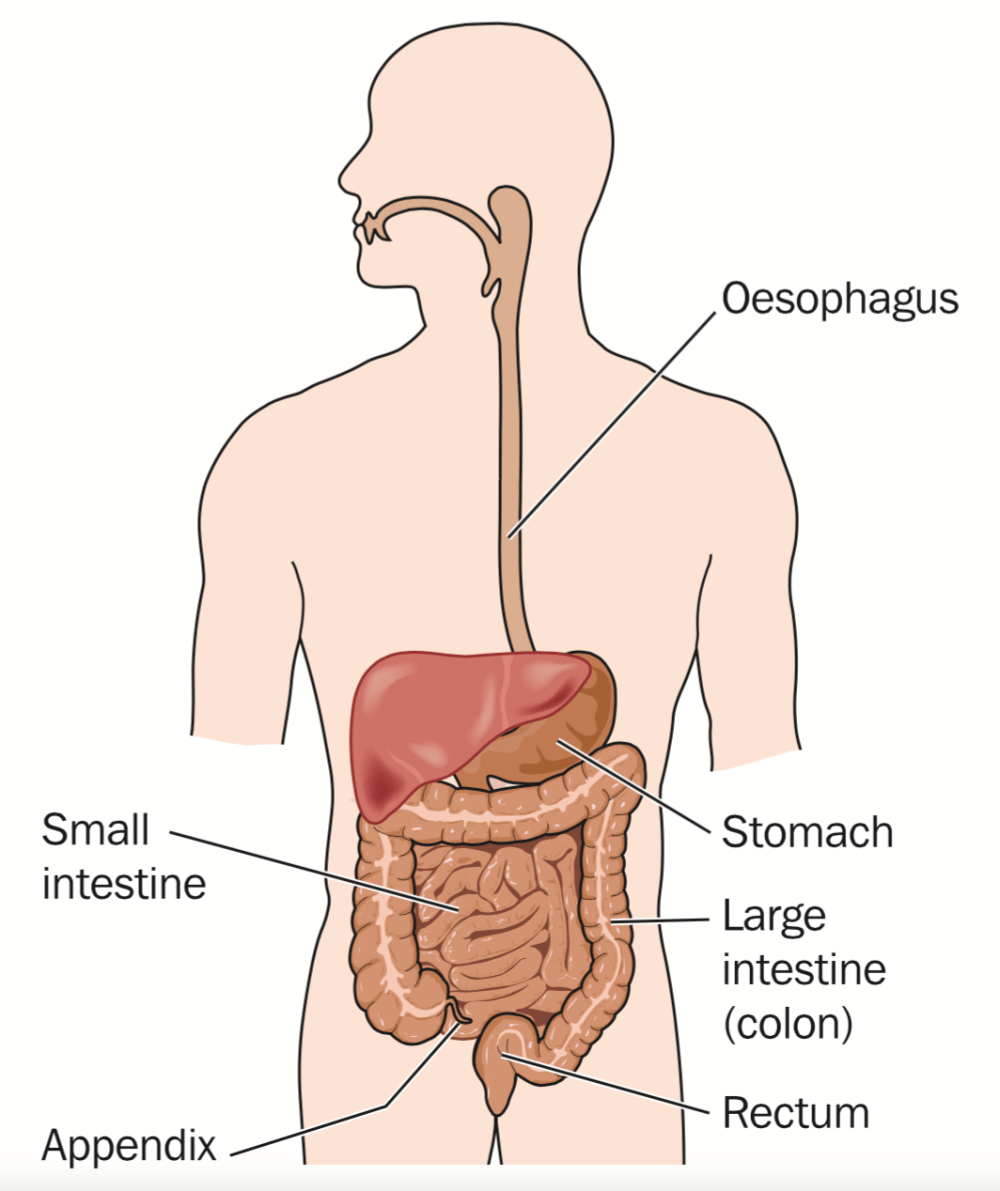 small resolution of the gastrointestinal tract blamb shutterstock