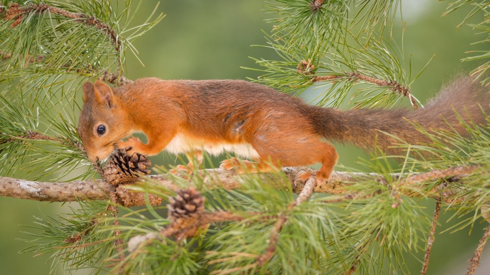 resurgent pine martens could