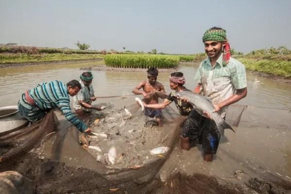 Sonriendo a los piscicultores de Bangladesh sosteniendo una gran carpa