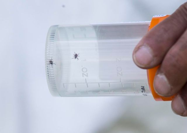 Jagdish Ramchandani holds a sample jar with two female black legged ticks he captured in a grassy area in Rouge Park.