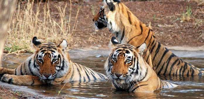 Image result for Ranthambore National park,