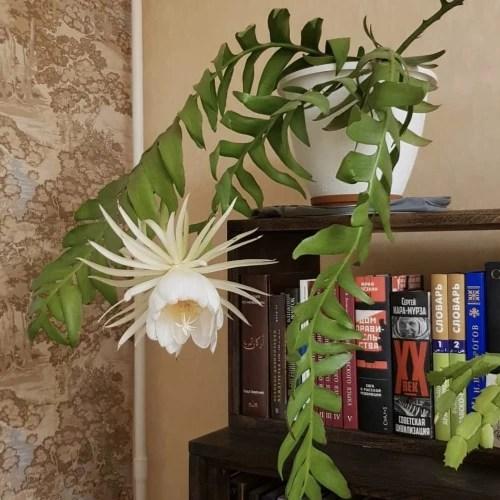 Jual Bibit tanaman wijaya kusuma epiphyllum chrysocardium - Kota Batu -  dididikashop   Tokopedia
