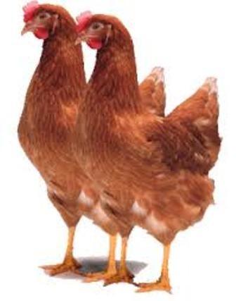 Harga Telur Horn : harga, telur, PULLET, LOHMAN, Bibit, Unggas, Petelur, Produksi, Minggu, Kulon, Progo, Vitamin, Ternak, Tokopedia