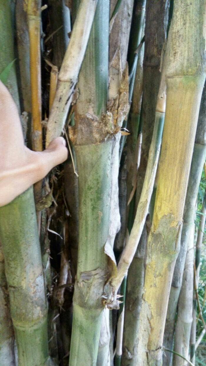 Harga Bambu Petuk Asli : harga, bambu, petuk, Bambu, Petuk, Masih, Pohon, Jakarta, Selatan, Tokopedia