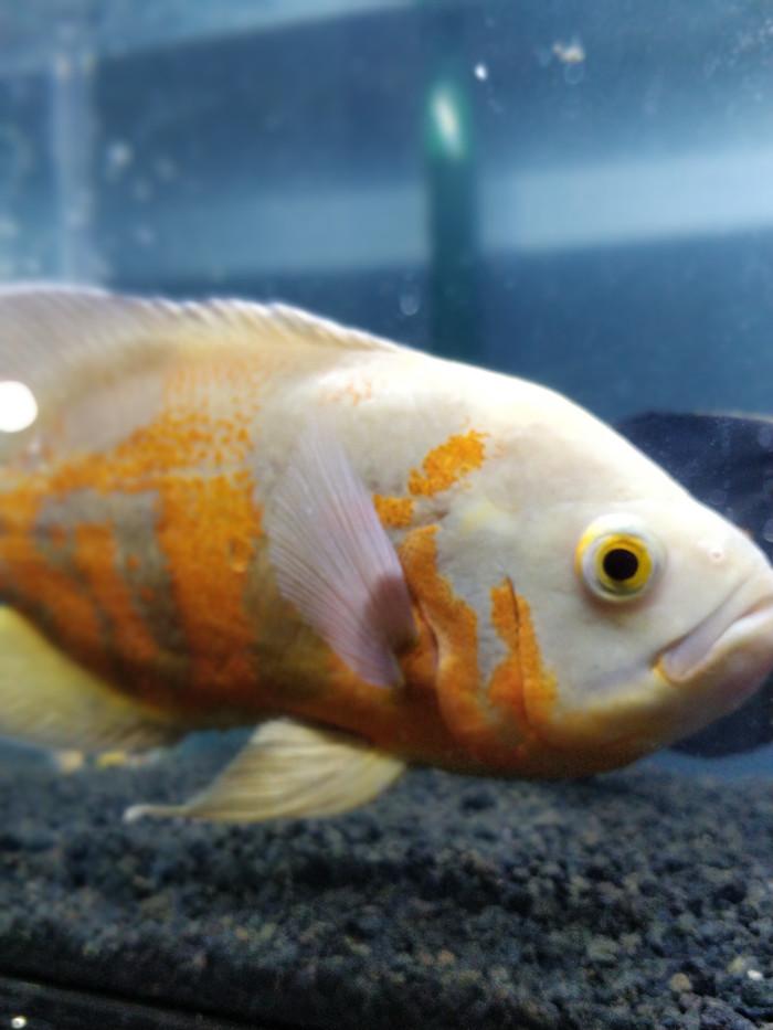 Harga Ikan Oscar : harga, oscar, CEPAT, OSCAR, ALBINO, ORANGE, (RARE), Ukuran, BESAR, MANTAP, Sumedang, Store, Tokopedia
