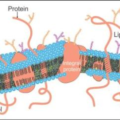 Diagram Of Fluid Mosaic Model Cell Membrane 2005 F150 Ac Clutch Wiring Draw A Labelled The Plasma