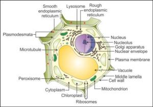 draw a well labelled diagram of a plant cell qgt78ofnn Biology  TopperLearning