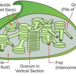 Chloroplast Diagram With Labels 4 Way Ball Valve Draw A Labelled Of The And Explain Its Structure