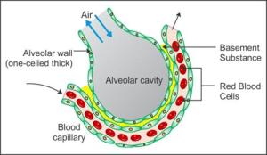 draw a well labelled diagram of the section of an alveolus