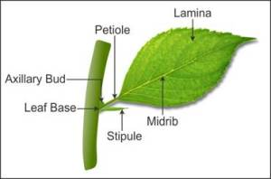 draw a well labelled diagram of a typical leaf n3nzj3v66 Biology  TopperLearning