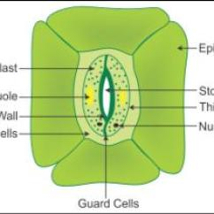 Science Diagrams For Class 8 Rj12 To Rj45 Wiring Diagram Explain The Structure Of Stomata With A Labelled Xwszjwzii -biology - Topperlearning.com