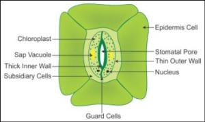 explain the structure of stomata with a labelled diagram xwszjwzii Biology  TopperLearning