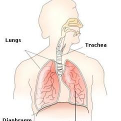 Label The Following Diagram Of Respiratory System Free Venn With Lines A Draw Neat And Parts