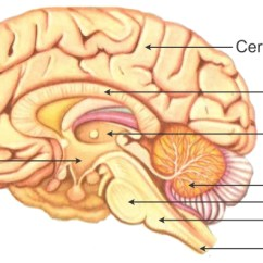 Human Brain Diagram Label 6 Octagonal Way Mount Martha Draw A Of And Any Four Parts Write One Function Each Two