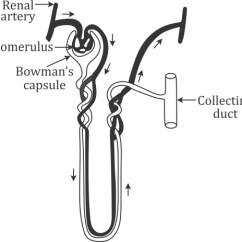 Bowman S Capsule Diagram Jcb Alternator Wiring A Draw Of An Excretory Unit Human Kidney And Label The Following Glomerulus Collecting Duct Renal Artery