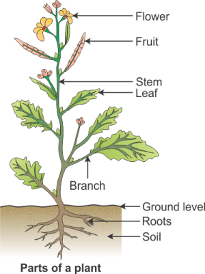 draw a diagram to show the parts of a plant and label them 8il3hsy99 Science  TopperLearning