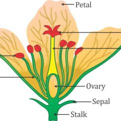 Diagram Of A Flowering Plant With Label Criminal Justice System Draw The Flower And Four Whorls Write Names Gamete Producing Organs In