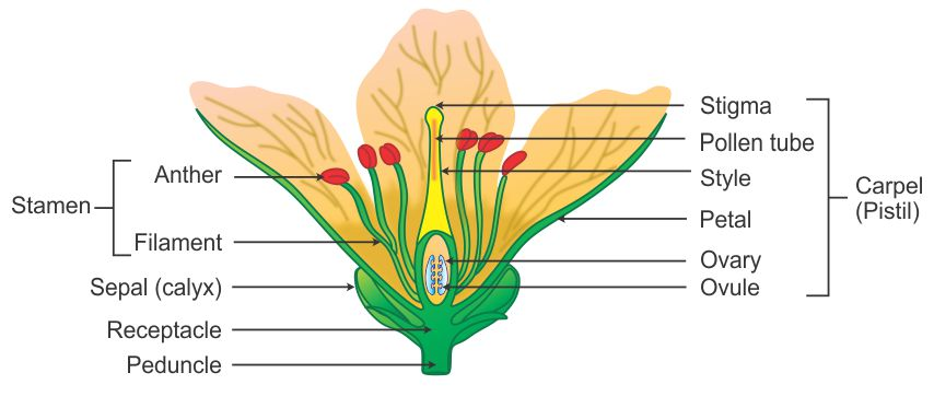 diagram of a flowering plant with label rat digestive system quiz draw neat well labelled flower showing its reproductive parts