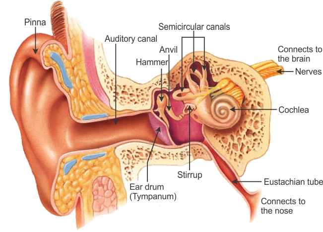 outter ear diagram labeled human renault laguna 2 wiring draw labelled of auditory parts and explain how the outer is called pinna it collects sound from surroundings collected passes through canal