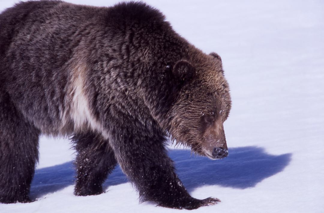 grizzly bear in the winter